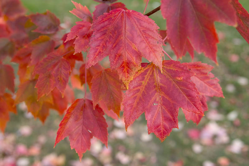 Detail of red leaves